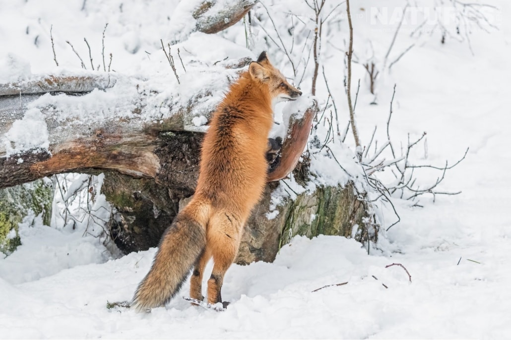 A Rescued Alaskan Red Fox Demonstrates It's Inquisitive Nature Photographed On The NaturesLens Bald Eagles Of Alaska Photography Holiday