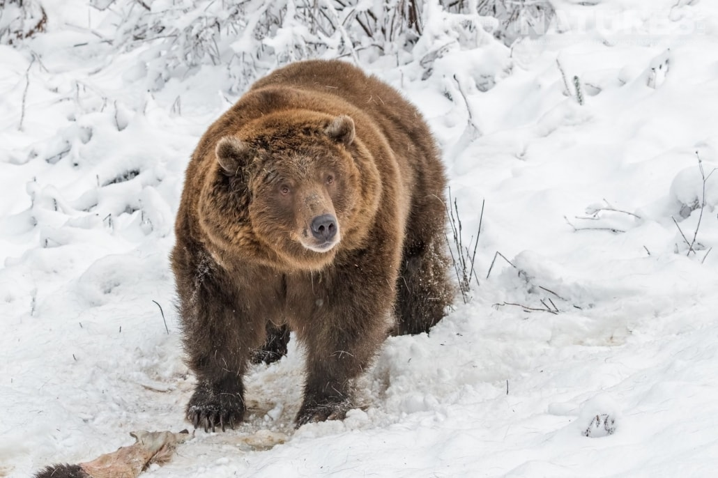 A Rescued Grizzly Bear Orphan Who Now Lives At The Kroschel Wildlife Centre Photographed On The NaturesLens Bald Eagles Of Alaska Photography Holiday