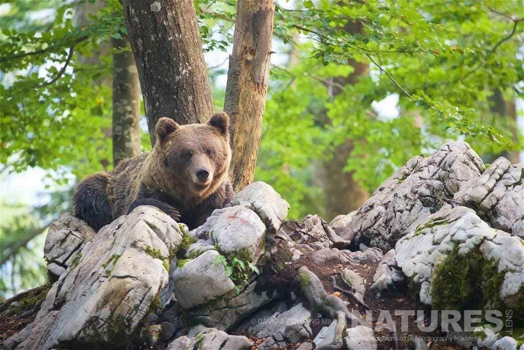 A Resting Adult European Brown Bear Found In The Slovenian Forests - Photographed On The Natureslens Slovenian Bear Photography Holiday