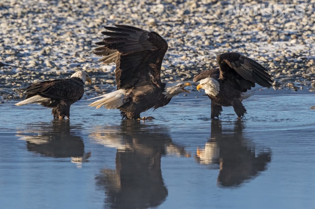 A Trio Of Alaskan Bald Eagles Squabble Over A Fish In A Tributary Of The Chilkat River Photographed On The NaturesLens Bald Eagles Of Alaska Photography Holiday