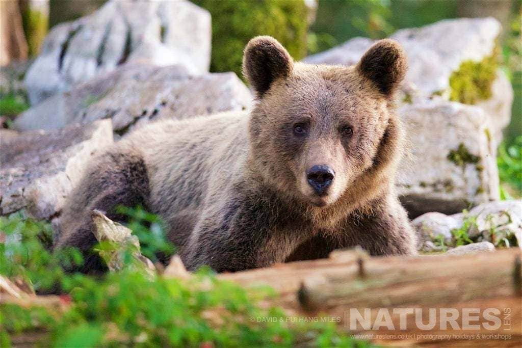 A Young Adult European Brown Bear As Found In The Slovenian Forests - Photographed On The Natureslens Slovenian Bear Photography Holiday