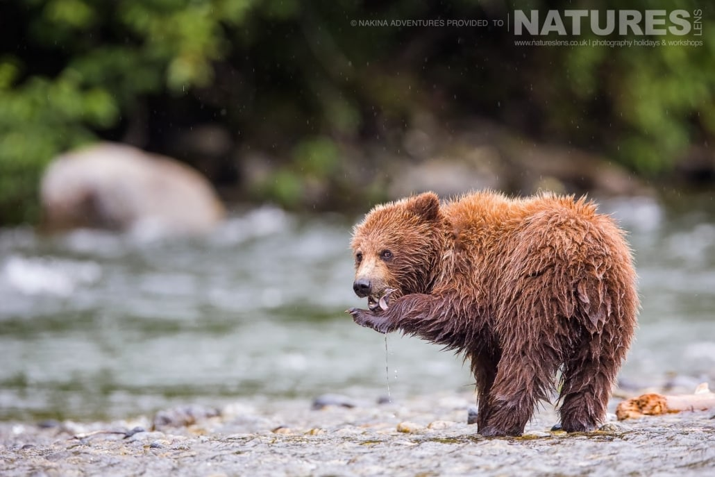 A young Grizzly Bear alongside the Taku river in British Columbia - an example of the photography opportunities that you will experience on the NaturesLens Grizzly Bears of British Columbia Photography Holiday