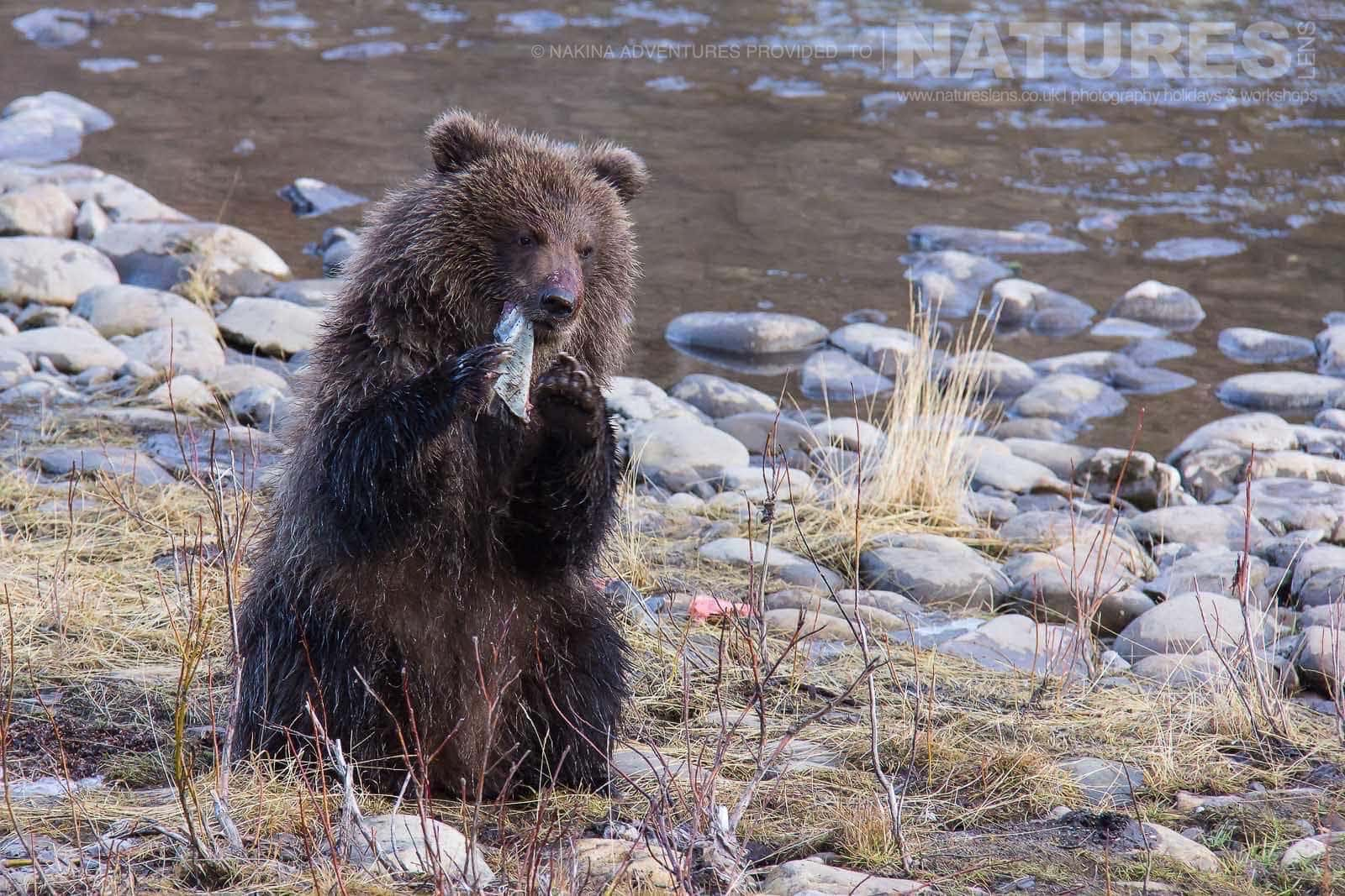 A Young Grizzly Bear Eats A Salmon That Was Caught From Fishing Branch River Typical Of The Kind Of Image That May Be Captured On The Ice Bears Of The Yukon Photographic Holiday