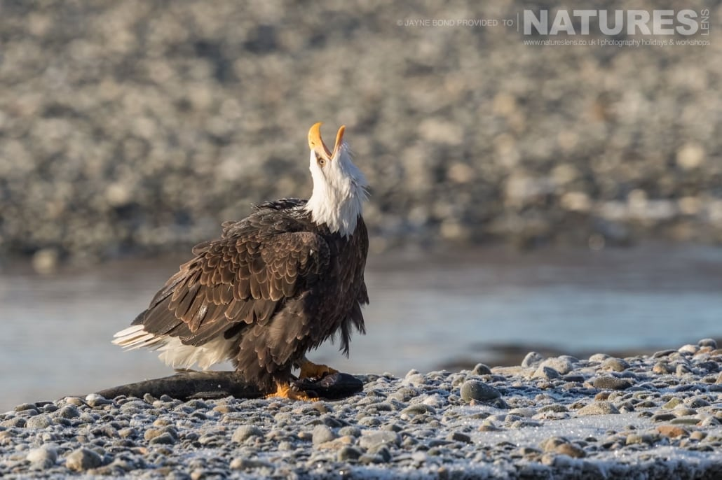 An Alaskan Bald Eagle Barks In The Air After Successfully Dragging A Fish From The Chilkat River Photographed On The NaturesLens Bald Eagles Of Alaska Photography Holiday