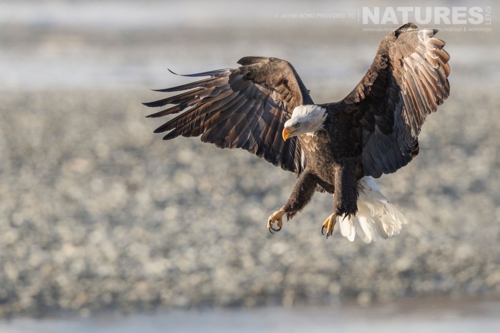 An Alaskan Bald Eagle Comes In To Land Upstream From Haines Photographed On The NaturesLens Bald Eagles Of Alaska Photography Holiday