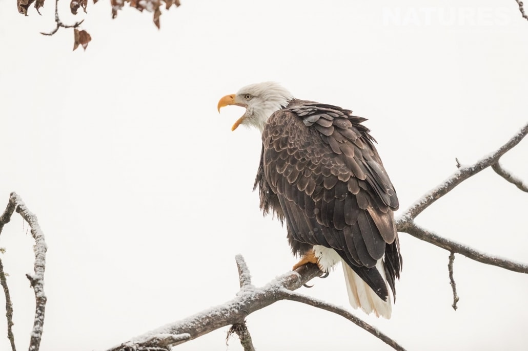 An Alaskan Bald Eagle Crows In The Air Perched On A Tree Close To One Of The Viewing Points Along The Chilkat River Photographed On The NaturesLens Bald Eagles Of Alaska Photography Holiday