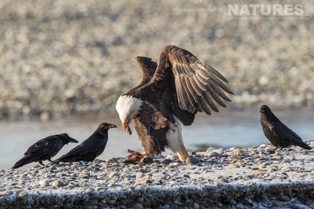 An Alaskan Bald Eagle Eats A Fish Whilst Being Mobbed By Ravens On A Bank Of The Chilkat River Photographed On The NaturesLens Bald Eagles Of Alaska Photography Holiday