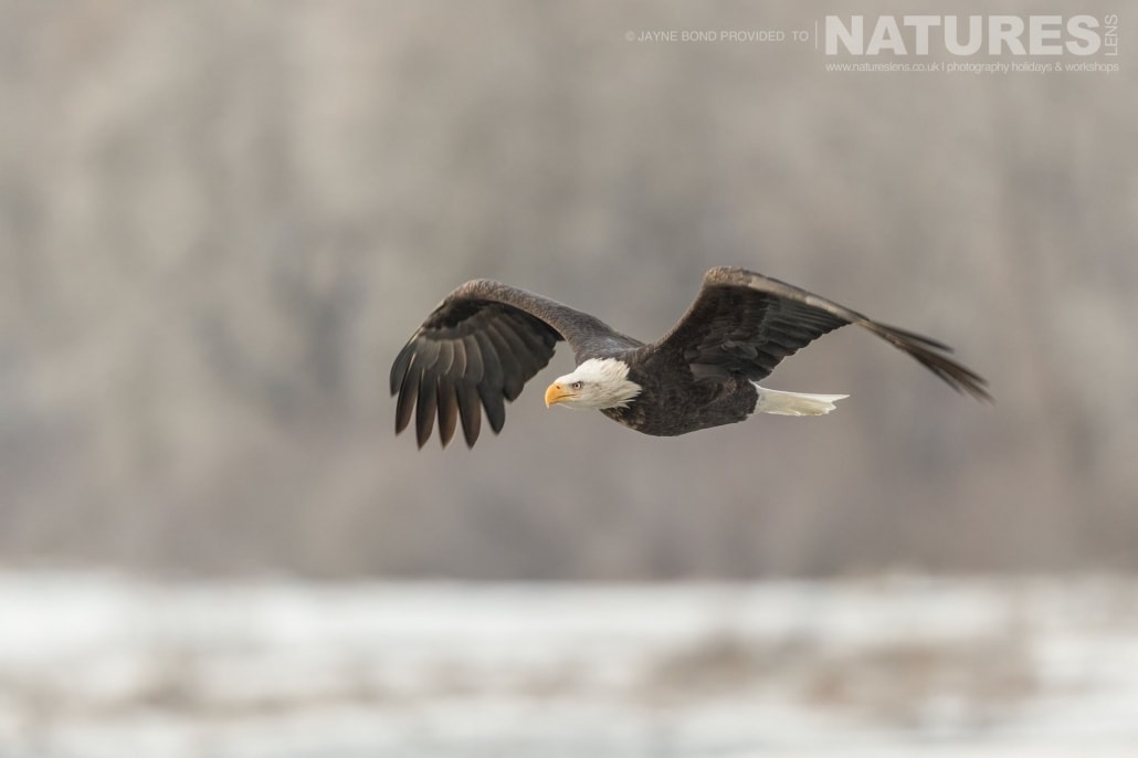 An Alaskan Bald Eagle Glides Through The Cold Air Of The Chilkat Valley Photographed On The NaturesLens Bald Eagles Of Alaska Photography Holiday