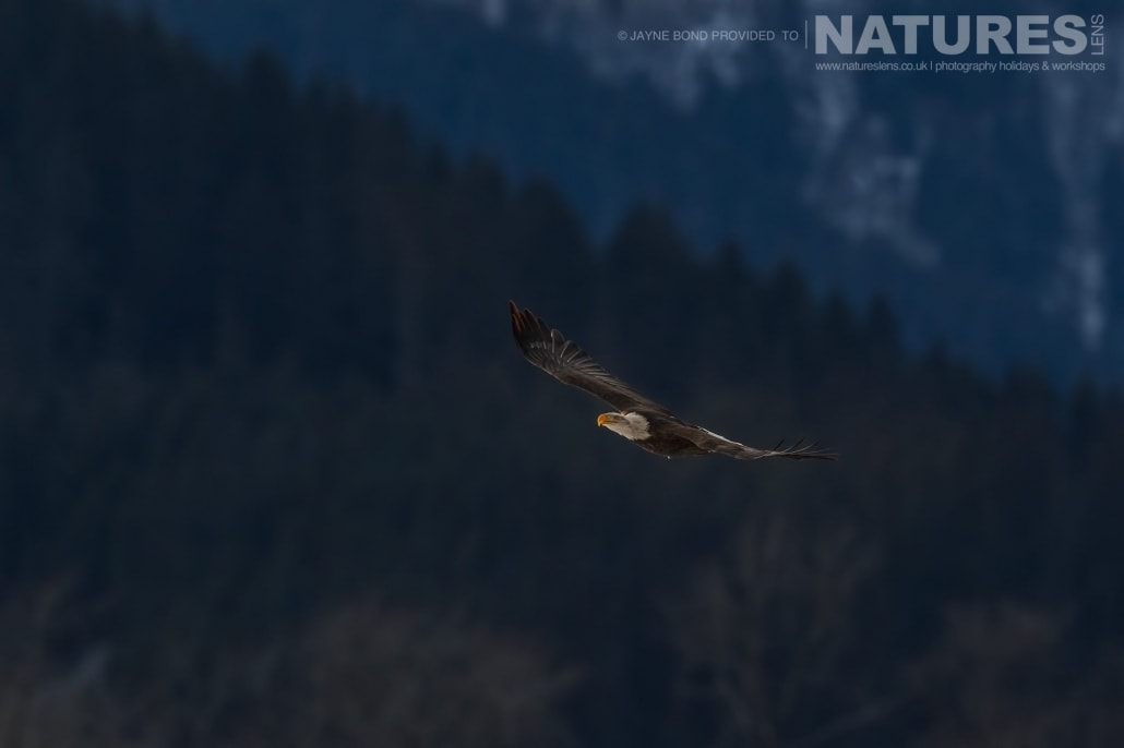 An Alaskan Bald Eagle Soars In The Wintery Air Against The Backdrop Of The Mountains And Forests Of The Chilkat Valley Photographed On The NaturesLens Bald Eagles Of Alaska Photography Holiday
