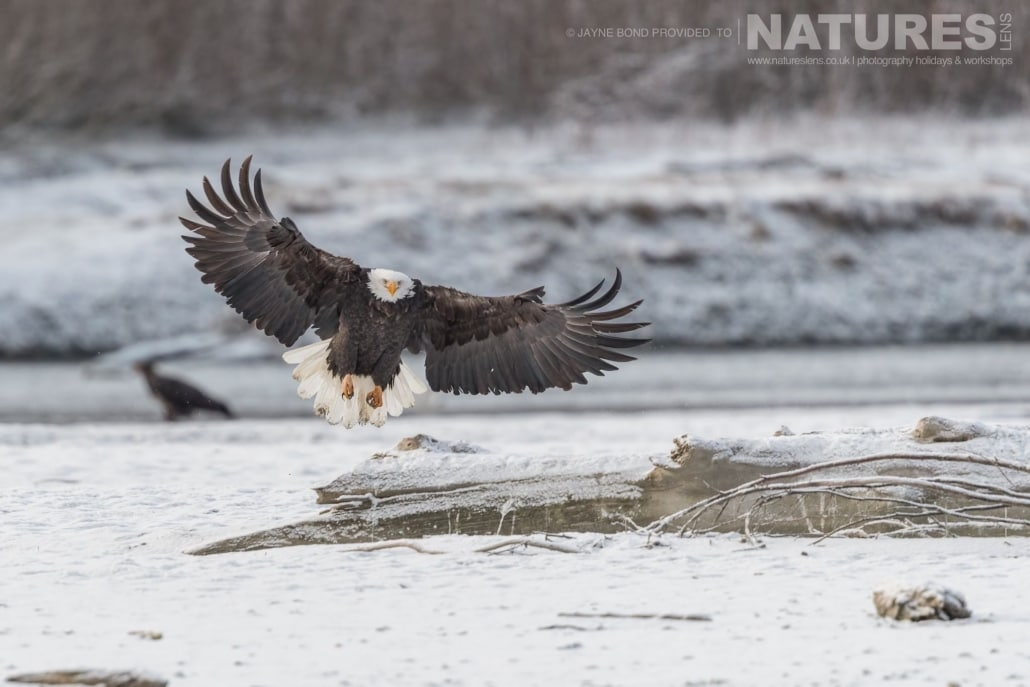An Alaskan Bald Eagle Spreads It's Wings To Slow It's Flight On A Frozen Bank Of The Chilkat River Photographed On The NaturesLens Bald Eagles Of Alaska Photography Holiday