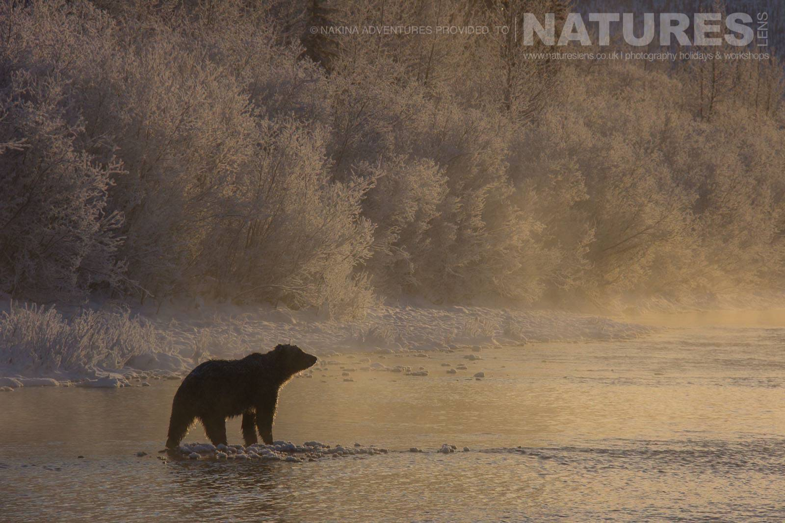 An Atmospheric Image Of A Solitary Bear Of The Yukon On The Fishing Branch River Typical Of The Kind Of Image That May Be Captured On The Ice Bears Of The Yukon Photographic Holiday