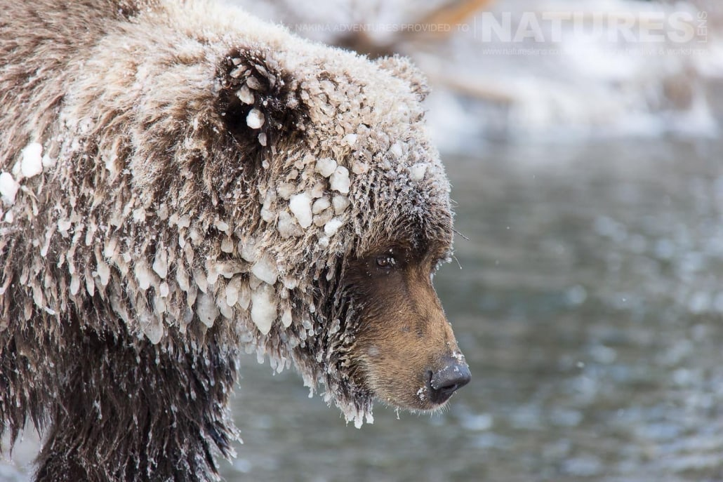 An Ice Covered Grizzly Bear Of The Yukon Typical Of The Kind Of Image That May Be Captured On The NaturesLens Ice Grizzlies of Bear Cave Mountain Photographic Holiday