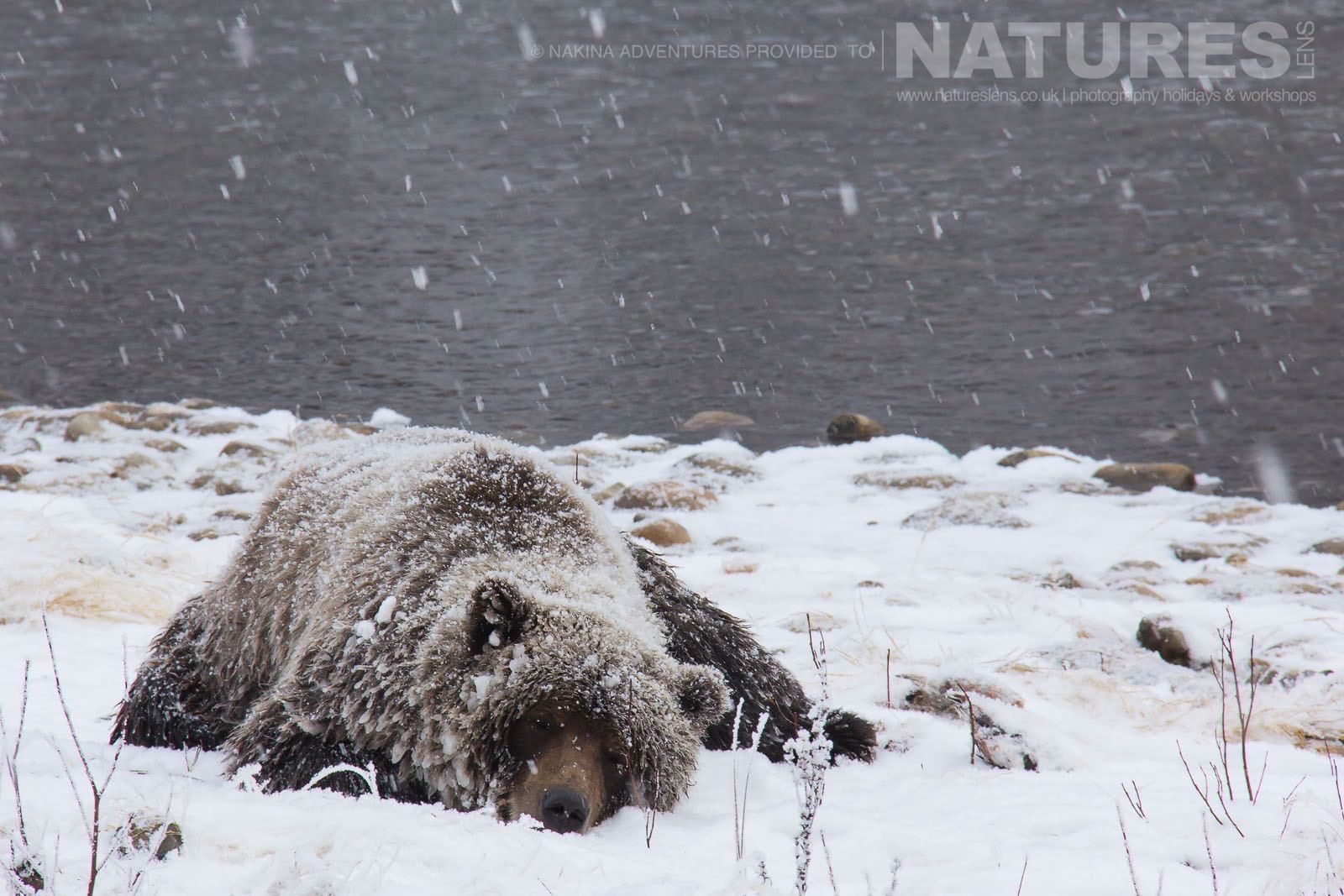 An Ice Covered Grizzly Bear Rests During A Snow Shower Typical Of The Kind Of Image That May Be Captured On The NaturesLens Ice Bears Of The Yukon Photographic Holiday