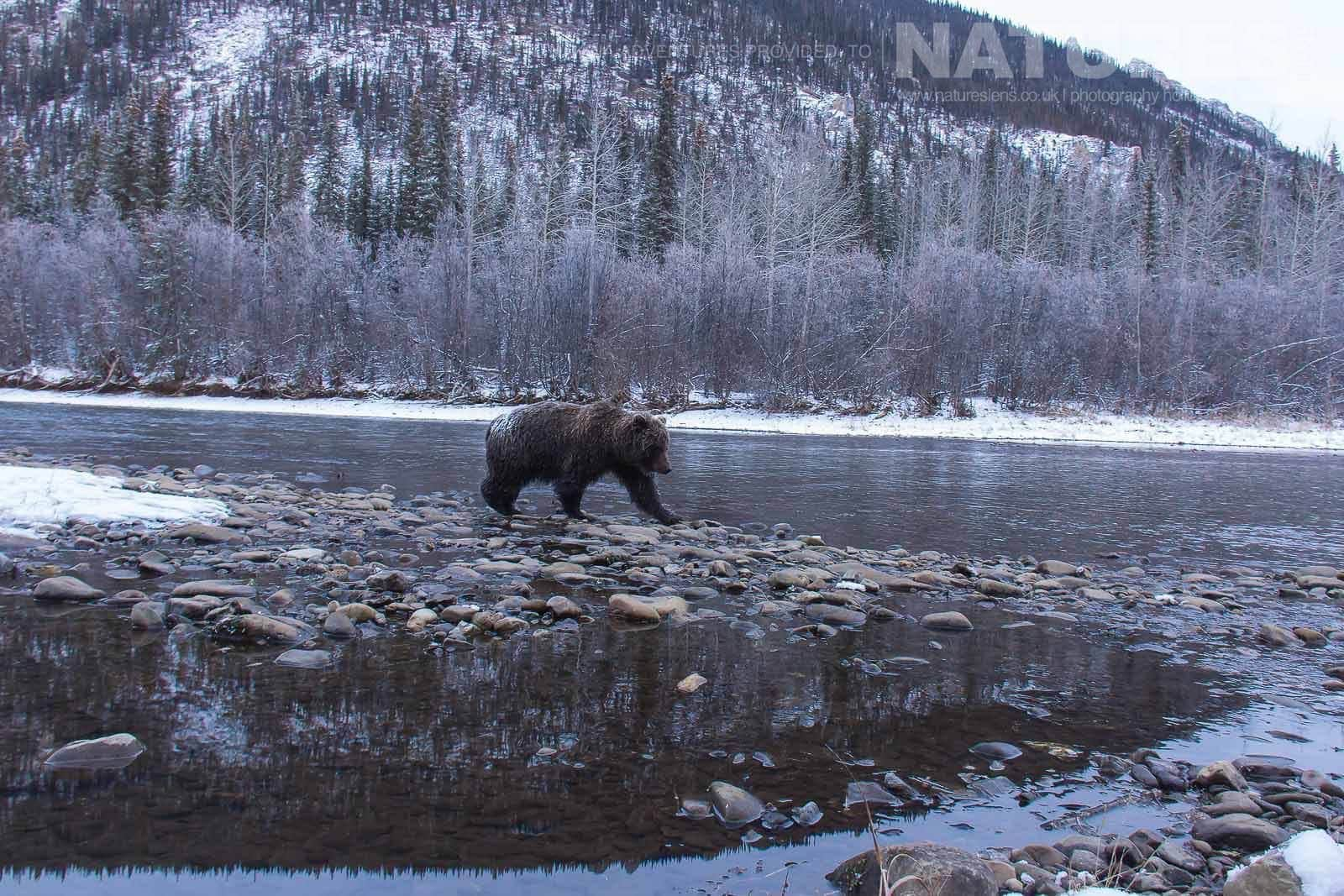 An Ice Covered Grizzly Bear Traverses The Banks Of Fishing Branch River Typical Of The Kind Of Image That May Be Captured On The NaturesLens Ice Bears Of The Yukon Photographic Holiday