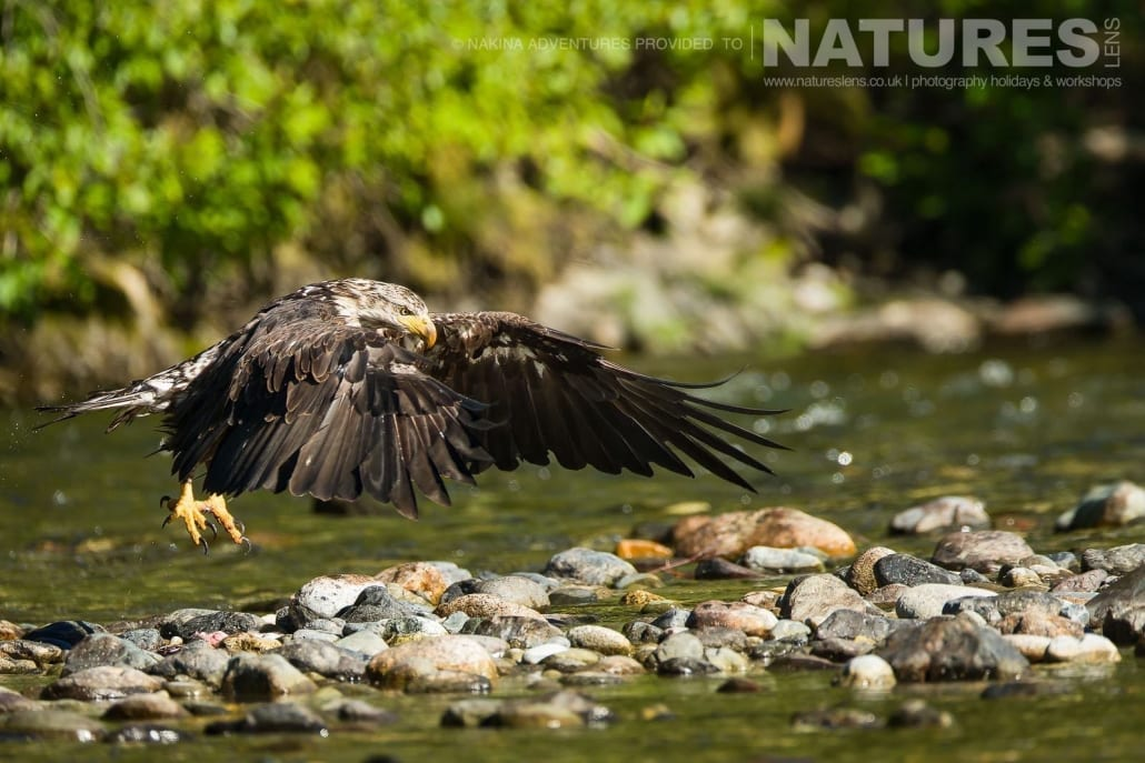 An immature bald eagle lands on a rocky bank in the Taku river in British Columbia - an example of the photography opportunities that you will experience on the NaturesLens Grizzly Bears of British Columbia Photography Holiday