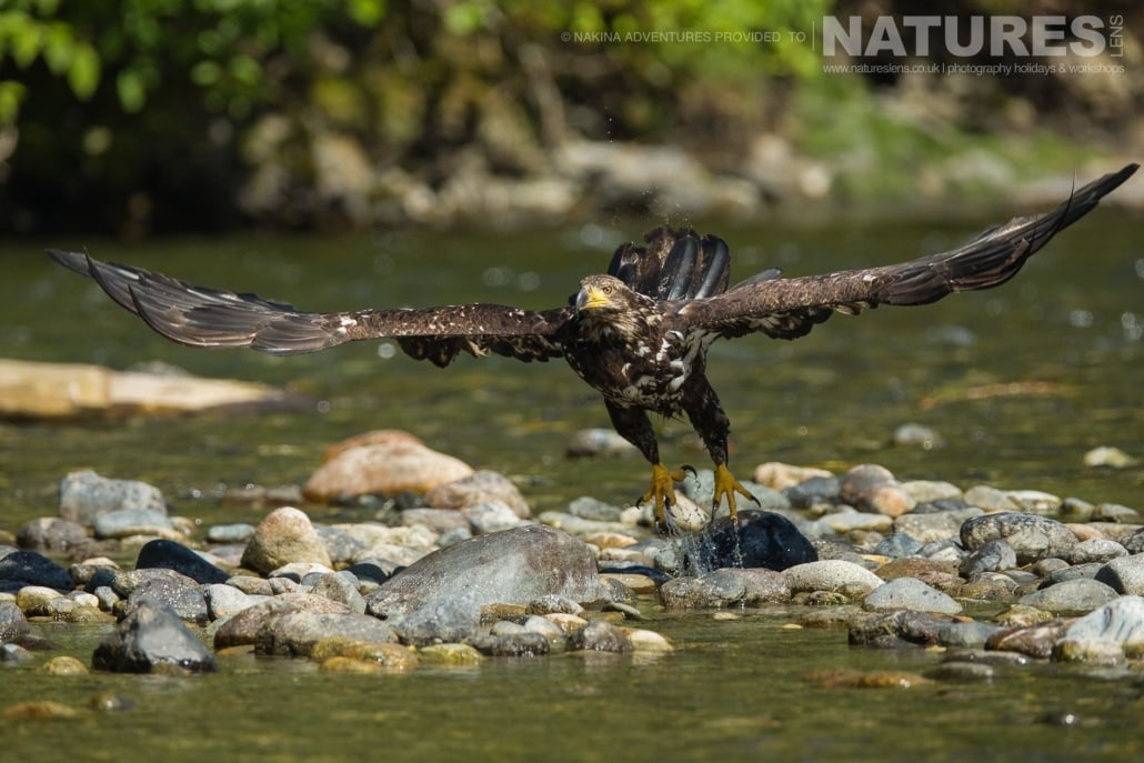 An immature bald eagle takes flight from the bed of the Taku river in British Columbia - an example of the photography opportunities that you will experience on the NaturesLens Grizzly Bears of British Columbia Photography Holiday