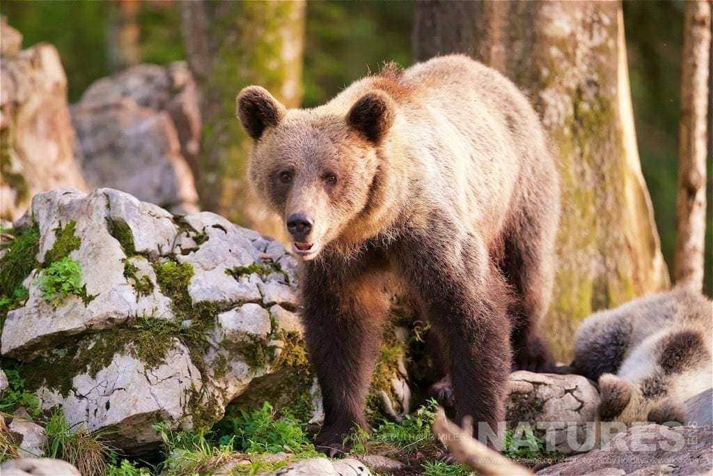 bathed in golden light at the end of the day this is just one of the adult european brown bears found in the slovenian forests photographed on the natureslens slovenian bear photography holiday