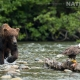 Both a Grizzly Bear & a mature Bald Eagle on the Taku river in British Columbia - an example of the photography opportunities that you will experience on the NaturesLens Grizzly Bears of British Columbia Photography Holiday