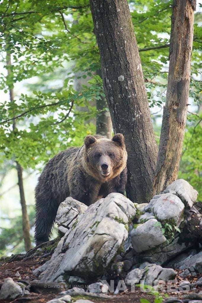 One Of The Adult European Brown Bears Found In The Slovenian Forests - Photographed On The Natureslens Slovenian Bear Photography Holiday
