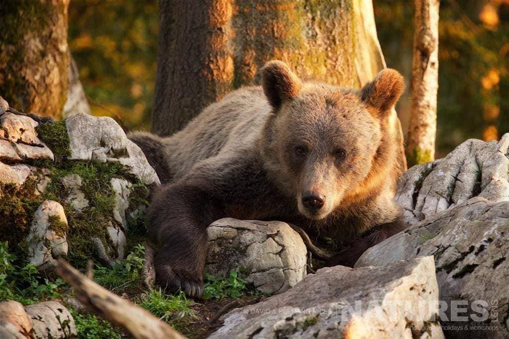 One Of The Adult European Brown Bears Lounges Amongst The Rocks Opposite The Tower Hide In The Slovenian Forests - Photographed On The Natureslens Slovenian Bear Photography Holiday
