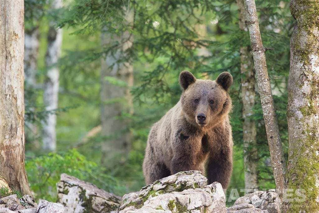One Of The Adult European Brown Bears Poses On Rocks - Photographed On The Natureslens Slovenian Bear Photography Holiday