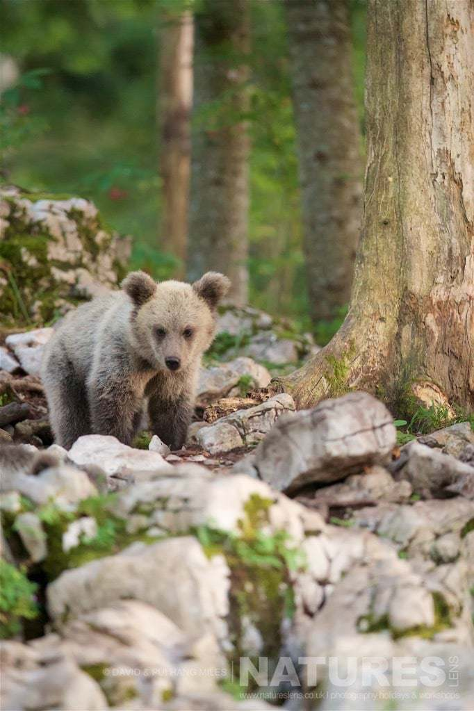 One Of The European Brown Bear Cubs Found In The Slovenian Forests - Photographed On The Natureslens Slovenian Bear Photography Holiday