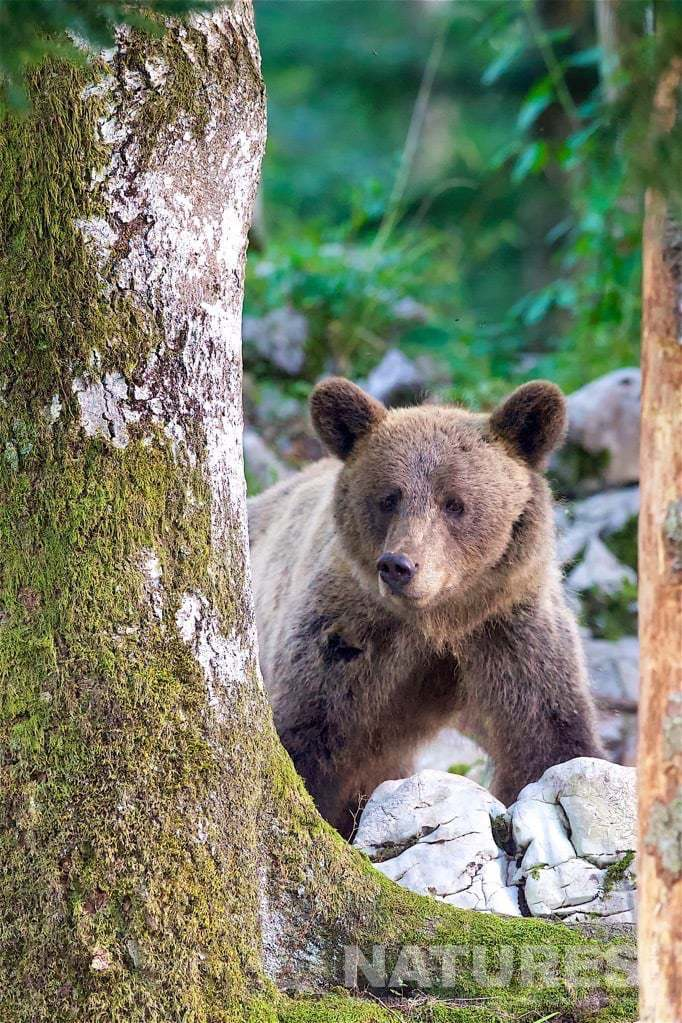One Of The European Brown Bears Found In The Slovenian Forests Peers Between Two Trees - Photographed On The Natureslens Slovenian Bear Photography Holiday