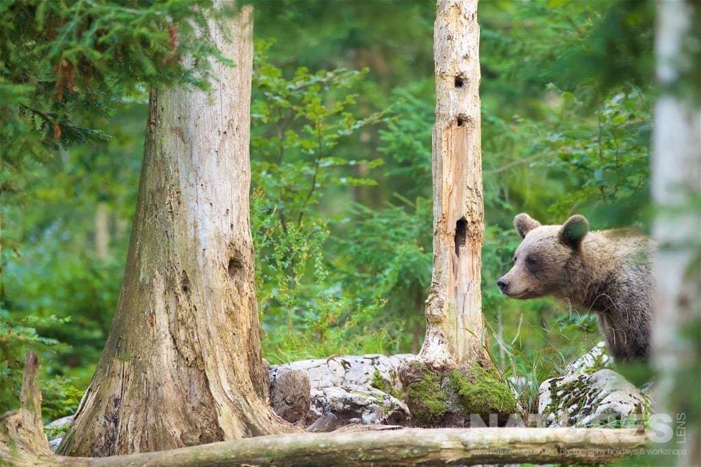 One of the female adult European brown bears emerges from the trees that form the large tracts of forest in the location of the Slovenian Bear Hides - photographed on the NaturesLens Slovenian Bear Photography Holiday