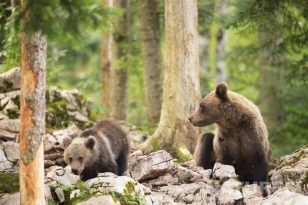 One Of The Female European Brown Bears Watches Over One Of Her Cubs In The Slovenian Forests - Photographed On The Natureslens Slovenian Bear Photography Holiday