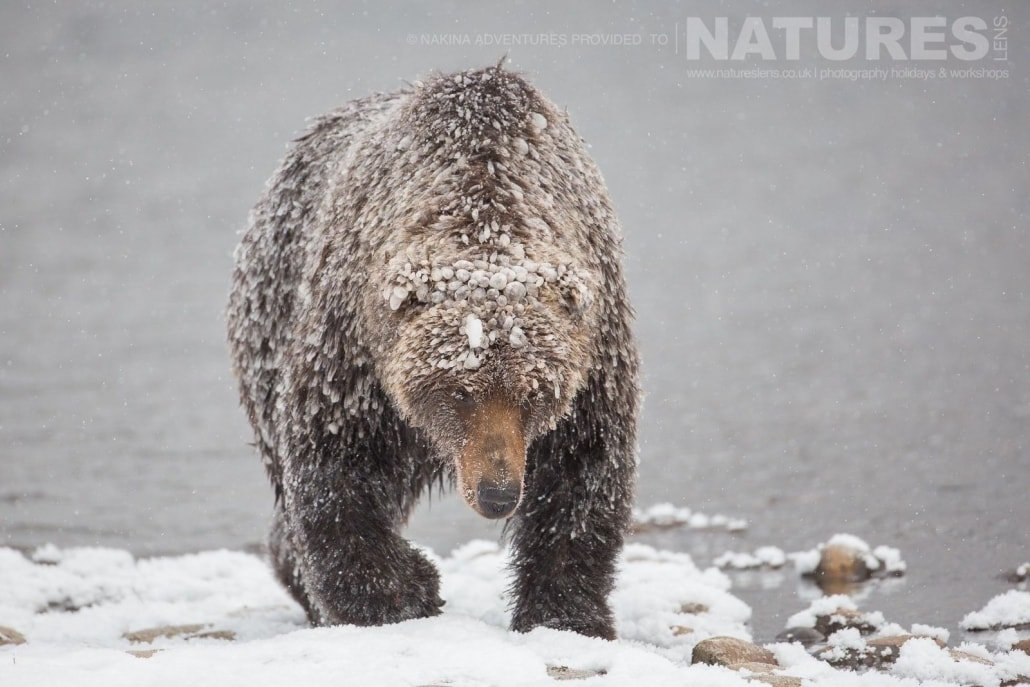 One Of The Grizzly Bears Emerges From The Fishing Branch River Covered In Ice Typical Of The Kind Of Image That May Be Captured On The Ice Grizzlies of Bear Cave Mountain Photographic Holiday