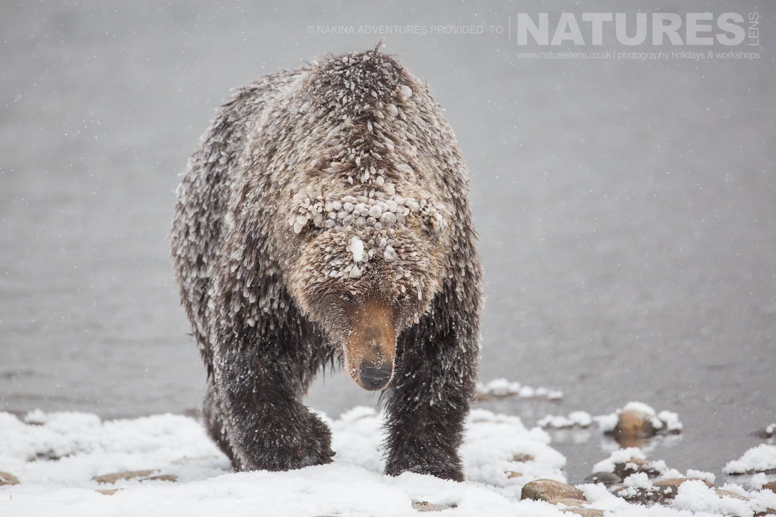 One Of The Grizzly Bears Emerges From The Fishing Branch River Covered In Ice Typical Of The Kind Of Image That May Be Captured On The Ice Bears Of The Yukon Photographic Holiday
