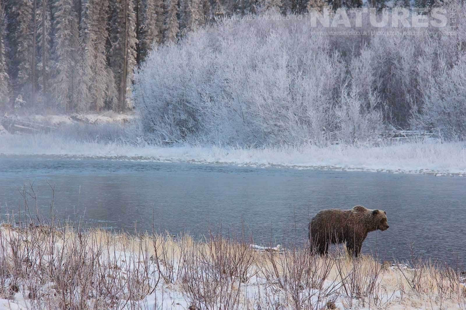 One Of The Grizzly Bears Of Bear Cave Mountain Walks Alongside Fishing Branch River Typical Of The Kind Of Image That May Be Captured On The Ice Bears Of The Yukon Photographic Holiday