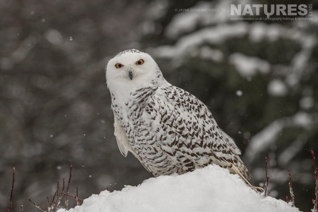 One Of The Rescued Snowy Owls Of The Kroschel Wildlife Centre Photographed On The NaturesLens Bald Eagles Of Alaska Photography Holiday