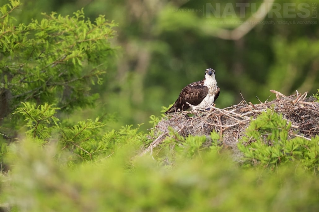 A Female Osprey Perched On The Edge Of Her Nest Photographed On The NatureLens Ospreys Of Blue Cypress Lake Photography Holiday