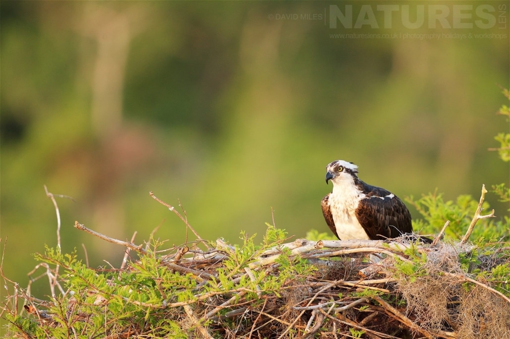 A Female Osprey Sitting On Her Nest, Later In The Week, We Saw Her Newly Hatched Young Photographed On The NatureLens Ospreys Of Blue Cypress Lake Photography Holiday