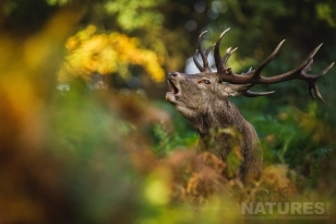 A Red Deer Stag Partially Hidden Within The Undergrowth Shows His Dominance With A Bellow This Image Was Captured On A Previous NaturesLens Red Deer Photography Workshop