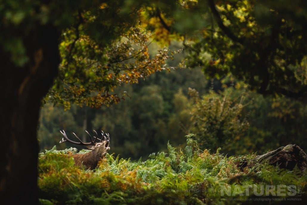 A Red Deer Stag Within Woodland Bellows To Show His Dominance This Image Was Captured On A Previous NaturesLens Red Deer Photography Workshop