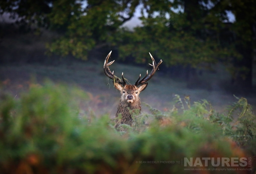A Young Stag Peers From The Undergrowth This Image Was Captured On A Previous NaturesLens Red Deer Photography Workshop