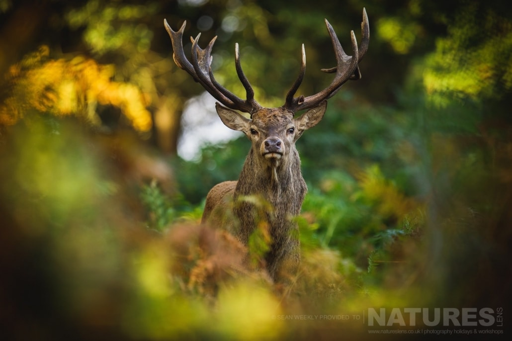 An Extremely Regal Looking Red Deer Stag Peers From The Undergrowth This Image Was Captured On A Previous NaturesLens Red Deer Photography Workshop