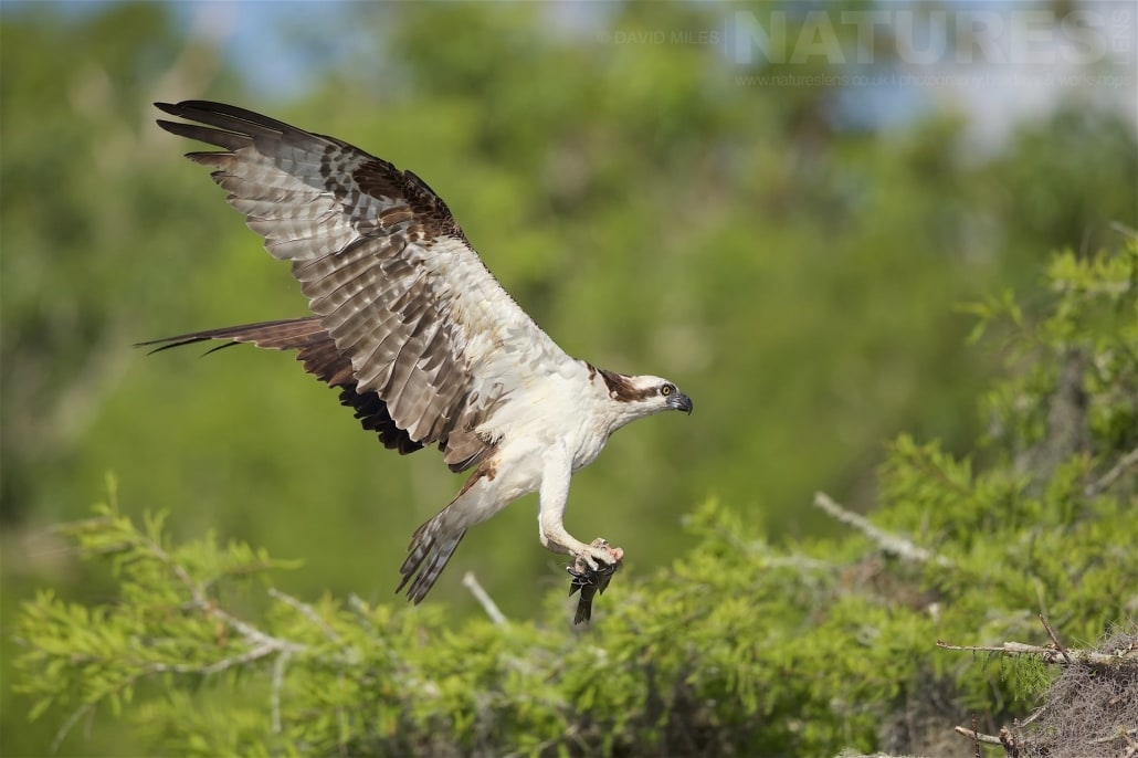 An Osprey About To Land On It's Nest With The Remains Of A Fish Caught From The Lake Photographed On The NatureLens Ospreys Of Blue Cypress Lake Photography Holiday