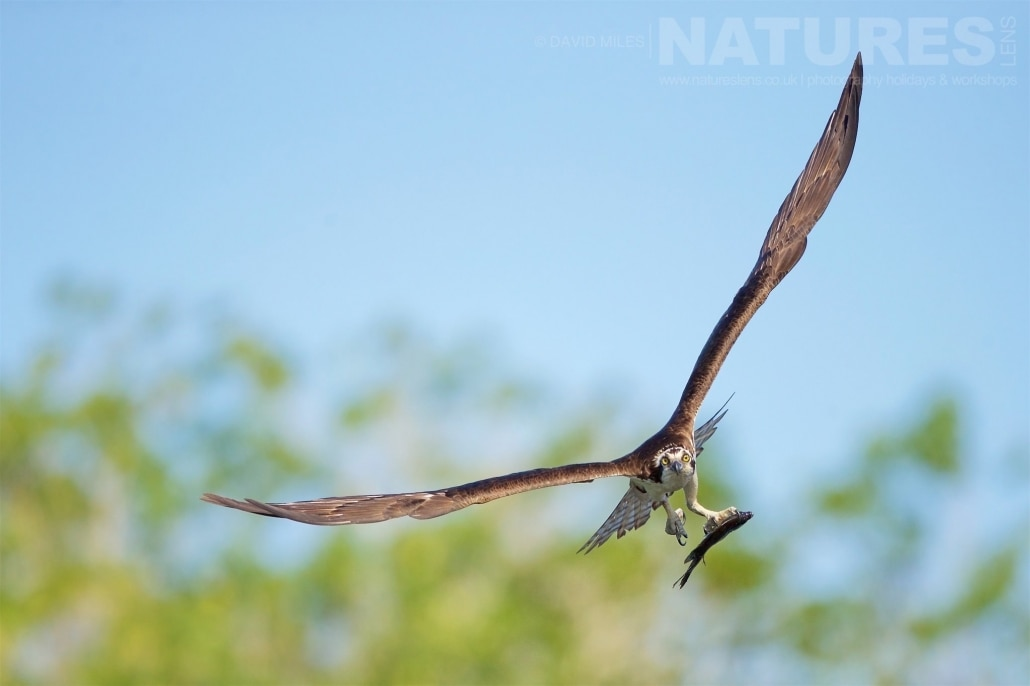 An Osprey Circles And Stares Directly Into The Camera Photographed On The NatureLens Ospreys Of Blue Cypress Lake Photography Holiday