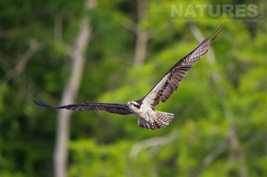 An Osprey Flies Out From Amongst The Cypress Trees Photographed On The NatureLens Ospreys Of Blue Cypress Lake Photography Holiday