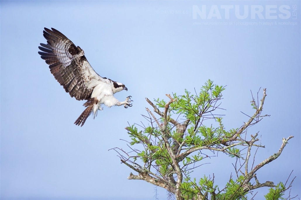 An Osprey Lands On The Very Topmost Branches Of One Of The Cypress Trees Photographed On The NatureLens Ospreys Of Blue Cypress Lake Photography Holiday