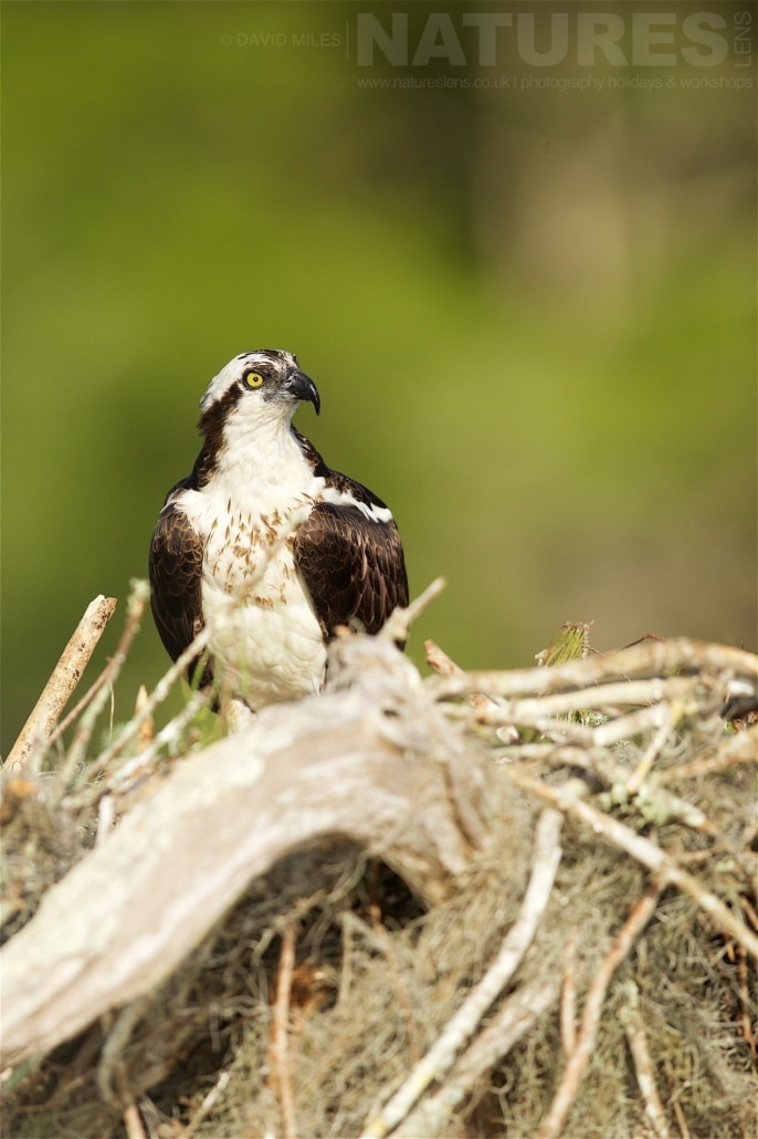 An Osprey Perched On The Ramshackle Collection Of Twigs, Branches And Lichen That Make Up The Nest Photographed On The NatureLens Ospreys Of Blue Cypress Lake Photography Holiday