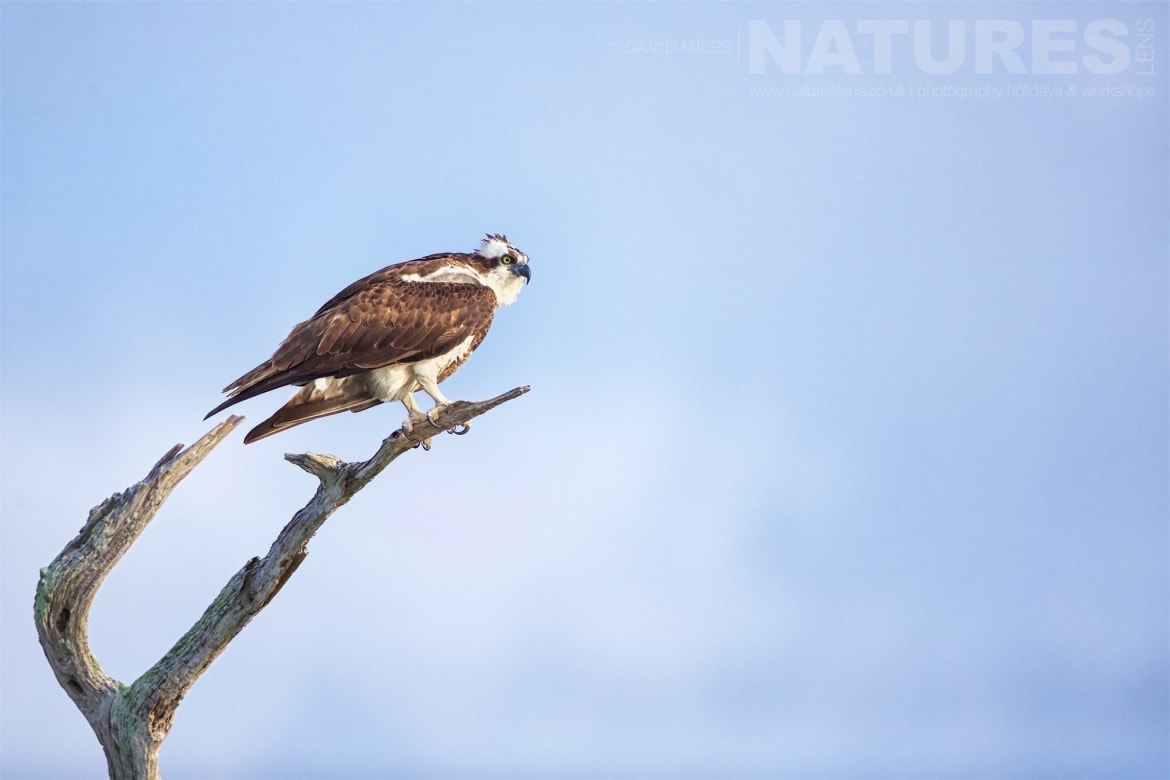 An Osprey Perched On The Very Top Of One Of Cypress Trees Photographed On The NatureLens Ospreys Of Blue Cypress Lake Photography Holiday
