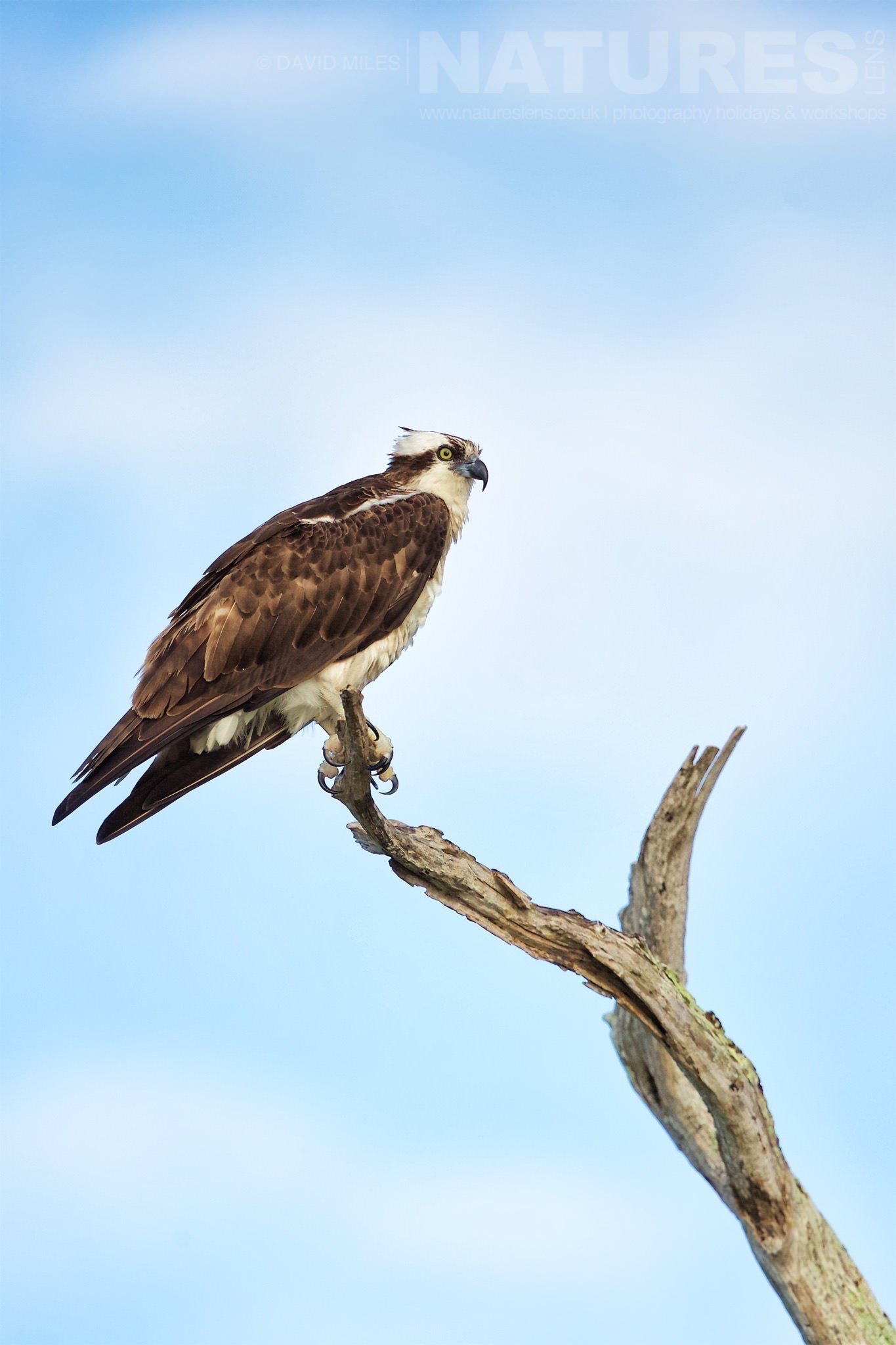 An Osprey Perches At The Top Of One Of The Cypress Trees Photographed On The NatureLens Ospreys Of Blue Cypress Lake Photography Holiday