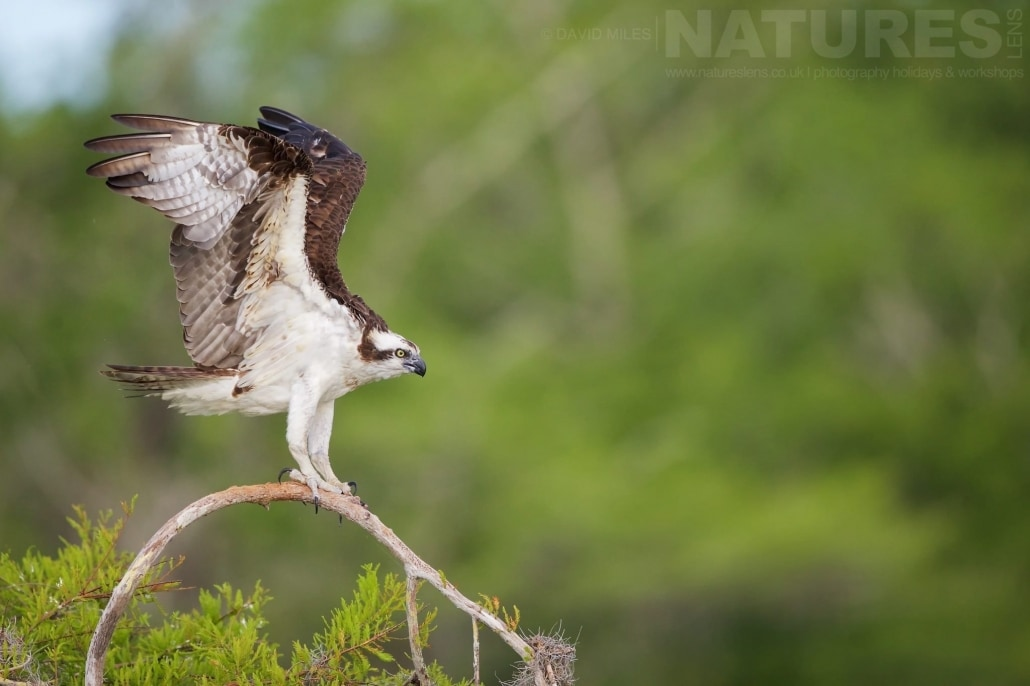 An Osprey Prepares For Flight Photographed On The NatureLens Ospreys Of Blue Cypress Lake Photography Holiday