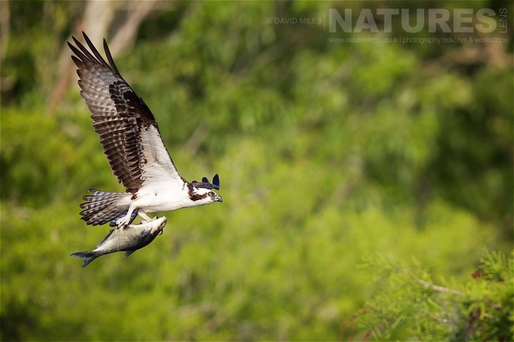 An Osprey Returns From A Successful Dive With A Fish Grippeed In It's Claws Photographed On The NatureLens Ospreys Of Blue Cypress Lake Photography Holiday
