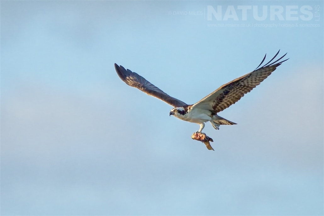 An Osprey Returns To The Nest Clutching A Fish For The Young Photographed On The NatureLens Ospreys Of Blue Cypress Lake Photography Holiday
