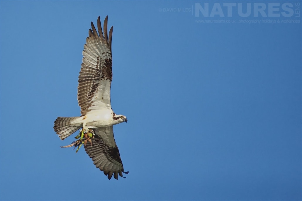 An Osprey Returns To The Nest Following An Expedition Out To The Lake Photographed On The NatureLens Ospreys Of Blue Cypress Lake Photography Holiday